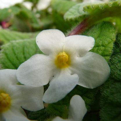 Achimenes - Niphea Oblonga-mesevirág