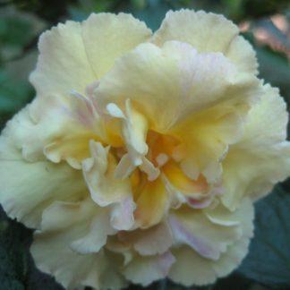 Achimenes - Yellow English Rose-mesevirág