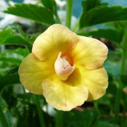 Achimenes - Yellow Fever-mesevirág