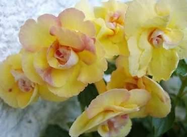 Achimenes 'Yellow Fever'- mesevirág 1 Az<strong> Achimenes 'Yellow Fever' - mesevirág</strong> külső szirmai sárgák, a belső szirmok halvány rózsaszínűek. <em>Kiszerelés: rizómás</em>