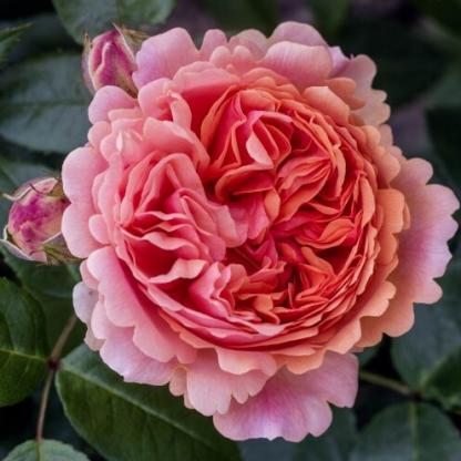 Chippendale® - nosztalgia teahibrid rózsa 1 Erős illatú, a narancs több színében játszó nosztalgia teahibrid rózsa, teljesen dupla virággal. <em>Kiszerelés: szabadgyökerű, A minőség</em>