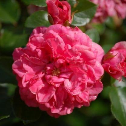 Pink Swany rózsaszín talajtakaró rózsa