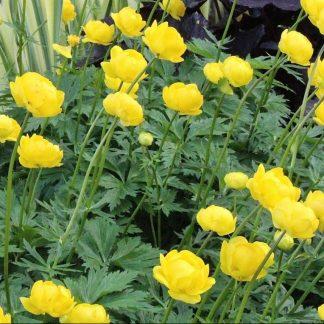 Trollius Lemon Queen sárga virágú zergeboglár
