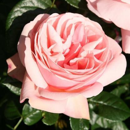 Aphrodite® - rózsaszín teahibrid rózsa 1 Többszörös díjnyertes romantikus rózsaszín teahibrid rózsa, történelmi rózsára emlékeztető teljesen dupla virággal. <em>Kiszerelés: szabadgyökerű, A minőség</em>