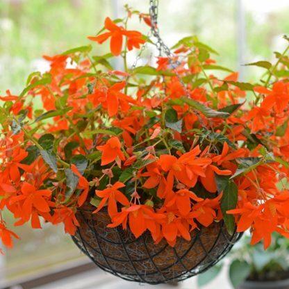 Narancssárga virágú csüngő begónia