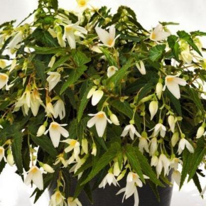 begonia-bertinii-boliviensis-santa-barbara Csüngő virágú begónia