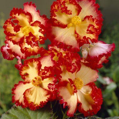 begonia-crispa-marginata-geel-rood