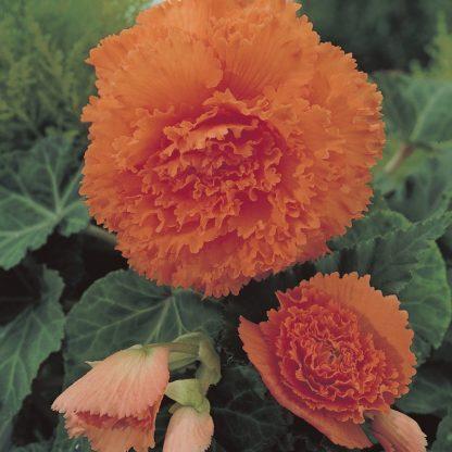 begonia-fimbriata-oranje szegfűvirágú begónia