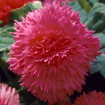begonia-fimbriata-roze szegfűvirágú begónia