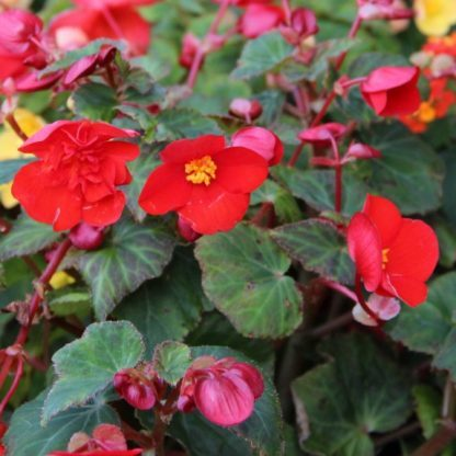 begonia-multiflora-flamboyant Piros sokvirágú begónia