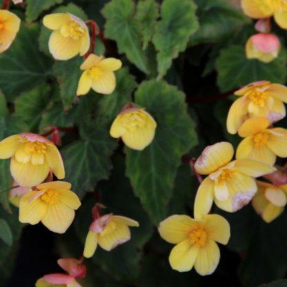 begonia-multiflora-frau-heacutelegravene-harms Sárga sokvirágú begónia