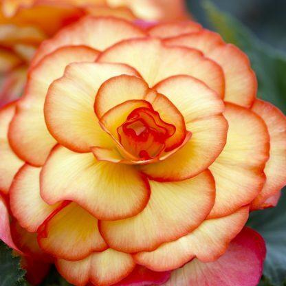 begonia-picotee-geel Tarka virágú begónia