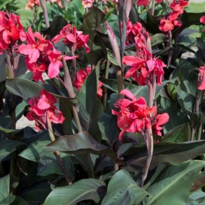canna-pink-and-roses