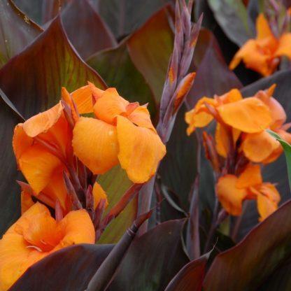 canna-wyoming - Narancssárga virágú kánna