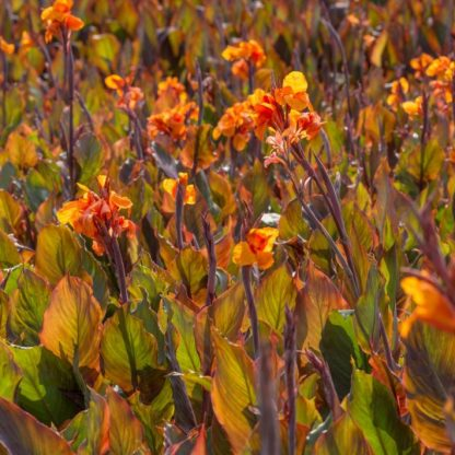 Wyoming canna virágok