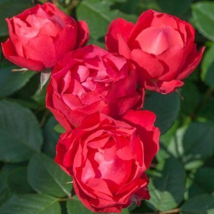 Cherry Bonica - piros bokorrózsa
