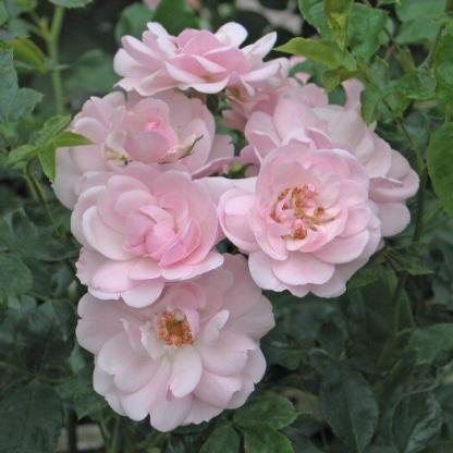 Canibo - rózsaszín futórózsa