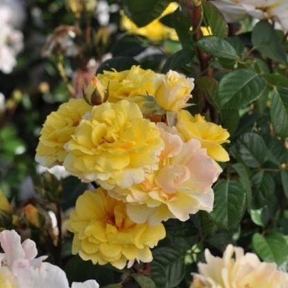 Nadia Zerouali ehető rózsa