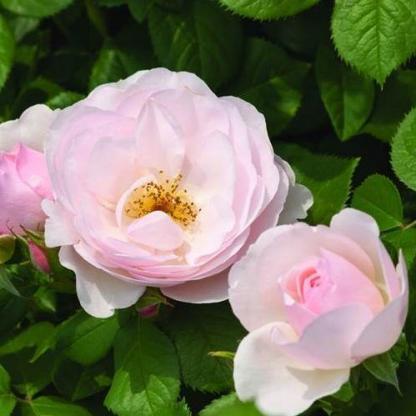 Pear - ehető rózsa