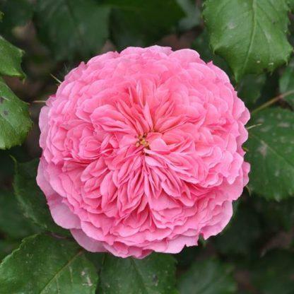 Theo Clevers ehető rózsa