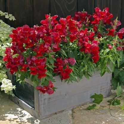 A Antirrhinum majus 'Floral Showers Scarlet' alacsony növése miatt jól mutat balkonládában