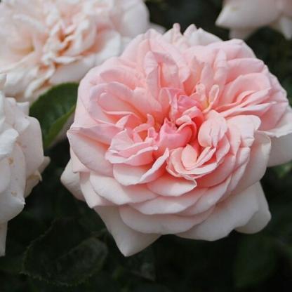 Aphrodite® - rózsaszín teahibrid rózsa 2 Többszörös díjnyertes romantikus rózsaszín teahibrid rózsa, történelmi rózsára emlékeztető teljesen dupla virággal. <em>Kiszerelés: szabadgyökerű, A minőség</em>