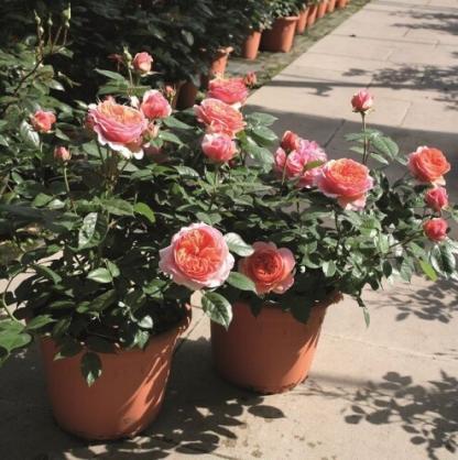 Chippendale® - nosztalgia teahibrid rózsa 2 Erős illatú, a narancs több színében játszó nosztalgia teahibrid rózsa, teljesen dupla virággal. <em>Kiszerelés: szabadgyökerű, A minőség</em>