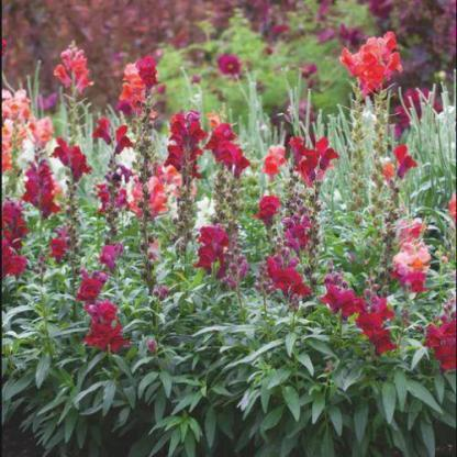 A Antirrhinum 'Liberty™ Classic Scarlet' - magas tátika csoportosan ültetve