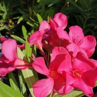 nerium-oleander-sainte-baume-leander