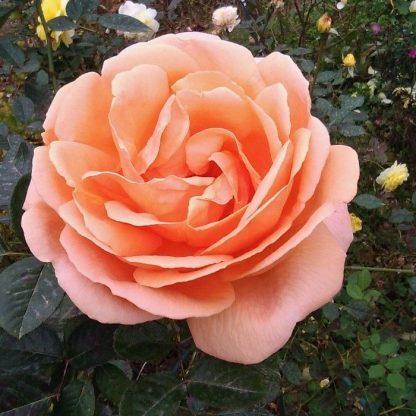 Abbeye de Cluny - bokorrózsa 1 Többszörös díjnyertes élénk barackszínű bokorrózsa, bőséges virágzással. <em>Kiszerelés: szabadgyökerű, A minőség</em>