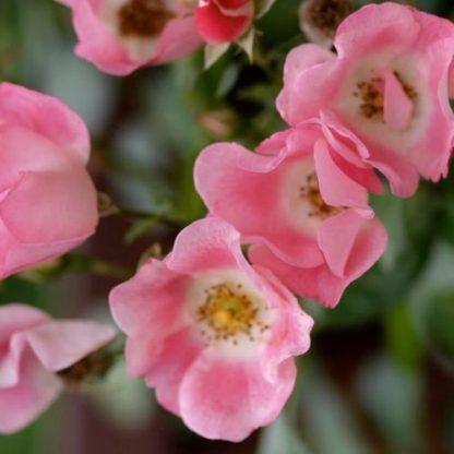 Bingo Meidiland - rózsaszín Meilland bokorrózsa