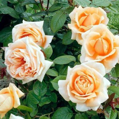 Abbeye de Cluny - bokorrózsa 2 Többszörös díjnyertes élénk barackszínű bokorrózsa, bőséges virágzással. <em>Kiszerelés: szabadgyökerű, A minőség</em>