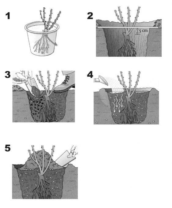 Szabadgyökerű rózsa ültetése 5 lépésben