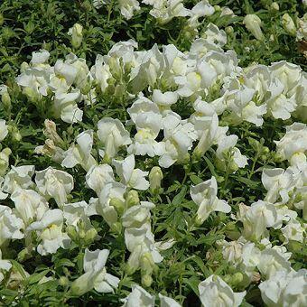 Az Antirrhinum 'Snapshot White' fehér színű, törpe tátika