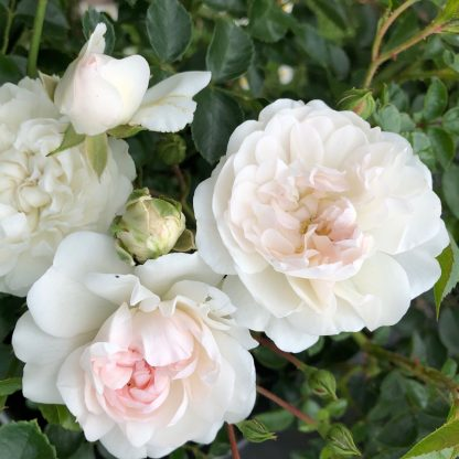 Swany - fehér talajtakaró rózsa