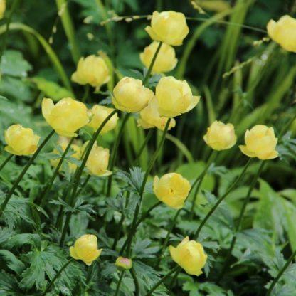 trollius-alabaster sárga virágú zergeboglár