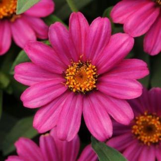 A Zinnia Zahara® 'XL Pink' rézvirágnak igen élénk rózsaszín szirmai vannak
