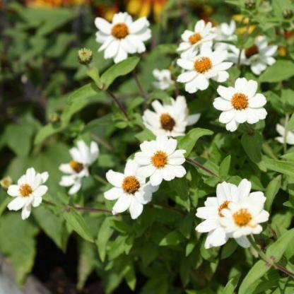 A Zinnia Zahara® 'XL White' - fehér rézvirág csoportosan ültetve