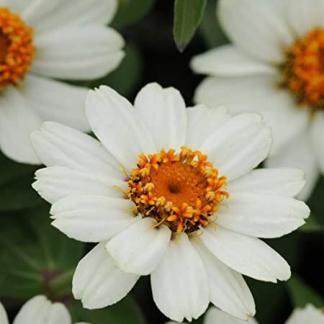 A Zinnia Zahara® 'XL White' rézvirágnak hófehér szirmai vannak