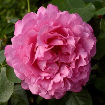 Yves Piaget - rózsaszín teahibrid rózsa