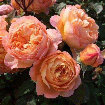 Lady Emma Hamilton - angol rózsa
