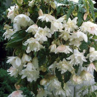 Begonia Pendula fehér csüngő begónia