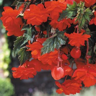 Begonia Pendula narancssárga csüngő begónia