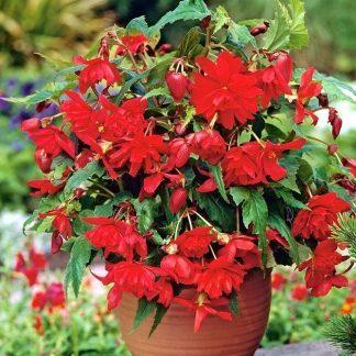 Begonia Pendula piros csüngő begónia