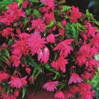 Begonia Pendula rózsaszín csüngő begónia