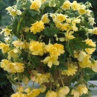 Begonia Pendula sárga csüngő begónia