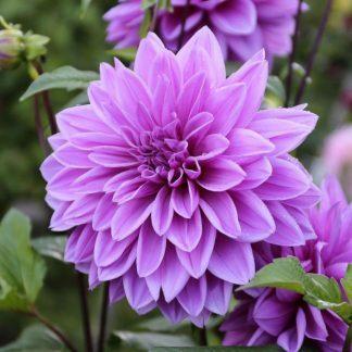 Dahlia Lilac Time dekorativ dália