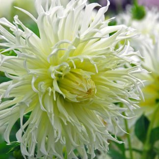 Dahlia Tsuki Yori No Shisha kaktusz dália