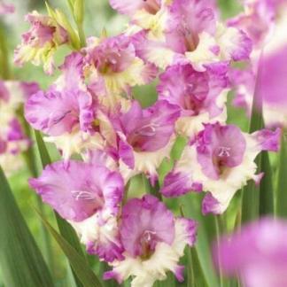 Gladiolus Maggie alacsony kardvirág