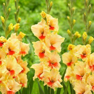 Gladiolus Safari alacsony kardvirág